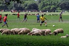 Отара овец пасется на фоне любителей футбола
