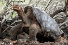 Умерла последняя гигантская галапагосская черепаха