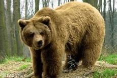 В Норвегии медведь растерзал туриста