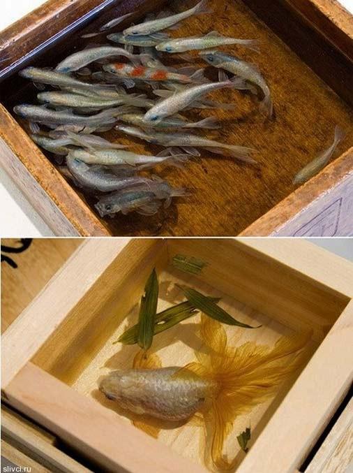 3D золотые рыбки, нарисованные в псевдо-аквариуме