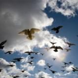 Как голуби чувствуют магнитное поле Земли?
