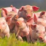 Свиньям в Литве создадут комфортные условия